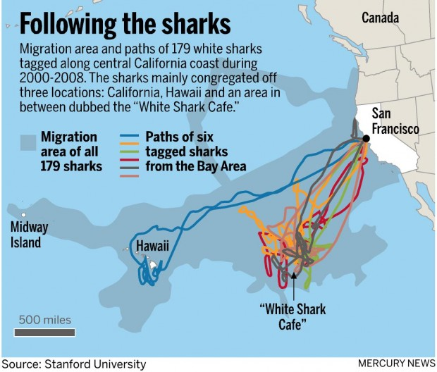 Great White Sharks In The San Francisco Bay